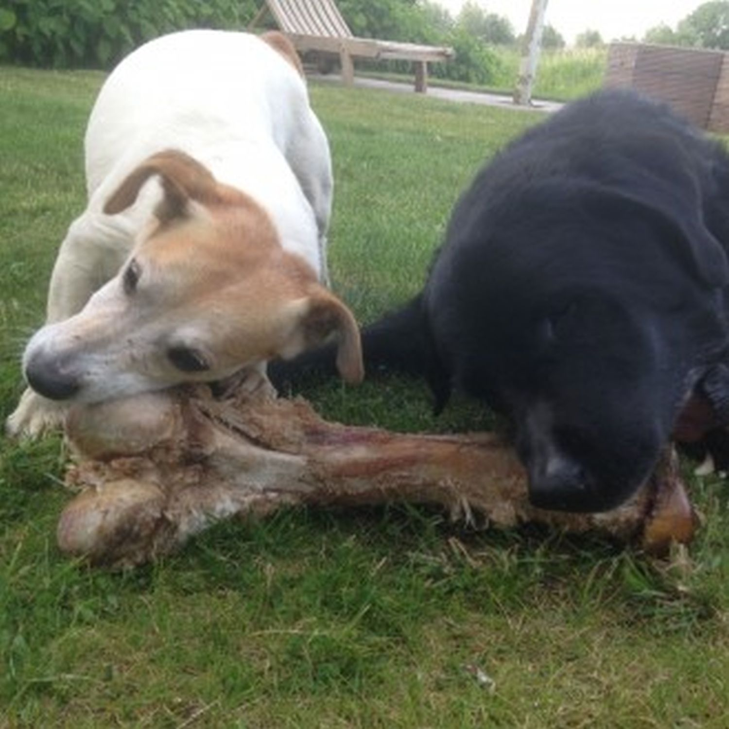 Big Marrow Bone